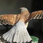 Falcon- Wings Spread Art Print