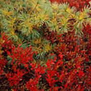 Fall Blueberries And Pine-sq Art Print