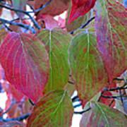 Fall Dogwood Leaf Colors 1 Art Print