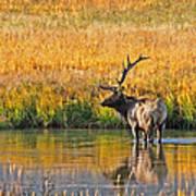 Fall Elk Reflection Art Print