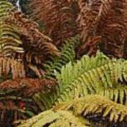 Fall Ferns Acadia National Park Img 6355 Art Print