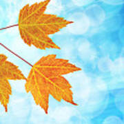 Fall Maple Leaves Trio With Blue Sky Art Print