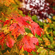 Fall Maple Leaves Art Print