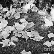 Fallen Acer Maple Leaves On Ground Autumn Fall Celebration Florida Usa Art Print