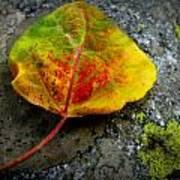 Fallen Autumn Aspen Leaf Art Print