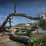 Fallen Dead Torrey Pine Trunk At Torrey Pines State Natural Reserve Art Print