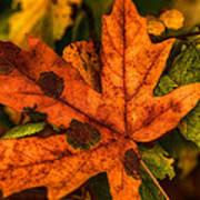 Fallen Maple Leave Art Print