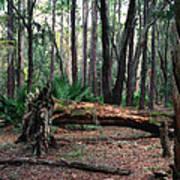 Fallen Oak. Split Oak Forest. Art Print