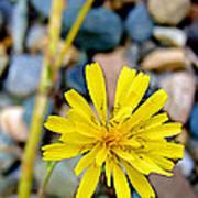False Dandelion Or Cat's Ear In Five Finger Rapids Recreation Site Along Klondike Hwy-yt  Art Print