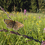 False Heath Fritillary In Meadow Bavaria Art Print