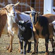 Fancy Goats Art Print