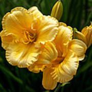 Fancy Yellow Daylilies Art Print