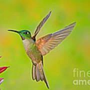Fawn-breasted Brilliant Hummingbird Art Print