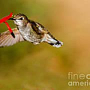 Feeding Anna's Hummingbird Art Print