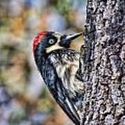 Female Acorn Woodpecker Portrait Art Print