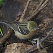 Female Cape May Warbler Art Print