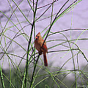 Female Cardinal In Willow Art Print