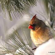 Female Cardinal Nestled In Snow Art Print