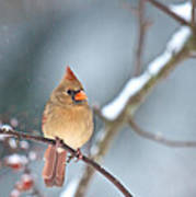 Female Cardinal On Cherry Tree In Snow Art Print
