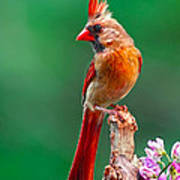 Female Cardinal Posing Pretty  Art Print