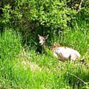 Female Deer Resting Art Print
