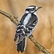 Female Downey Woodpecker Art Print