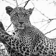 Female Leopard Art Print