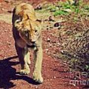 Female Lion Walking. Ngorongoro In Tanzania Art Print