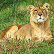 Female Lioness Lying On The Grass In The Afternoon Sun Art Print