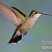 Female Magnificent Hummingbird At Flower Art Print