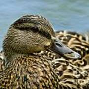Female Mallard Duck Art Print