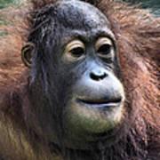 Female Orangutan Borneo Art Print