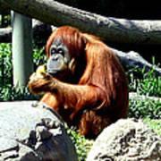 Female Orangutan-san Diego Art Print
