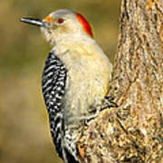 Female Red-bellied Woodpecker Art Print