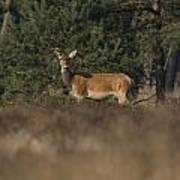 Female Red Deer During Rut Art Print