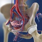 Female Reproductive Anatomy, Artwork Art Print