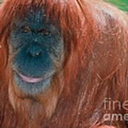 Female Sumatran Orangutan Art Print