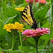 Female Tiger Swallowtail Butterfly With Pink And Yellow Zinnias Art Print