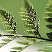 Fern Seeds Art Print