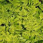 1m2436-ferns At The Base Of Mt. Robson  Art Print