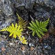 Ferns In Volcanic Rock Art Print