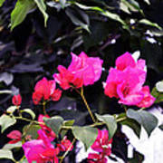 Fernwood Botanical Garden Bougainvillea Niles Michigan Usa Art Print