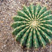 Ferocactus Histrix Cactus Art Print