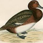 Ferruginous Duck Art Print