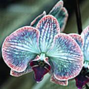 Festive Orchid Art Print