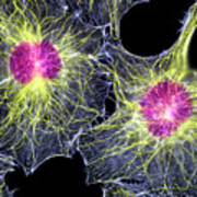 Fibroblast Cells Showing Cytoskeleton Art Print