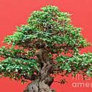 Ficus Bonsai Art Print