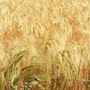 Field Of Gold - 3 Art Print