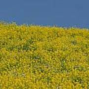 Field Of Mustard Art Print
