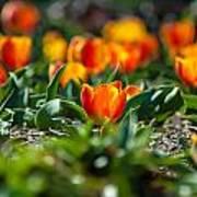 Field Of Orange Tulips Art Print